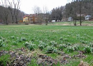 Märzenbecherblüte an der Bockmühle im Polenztal
